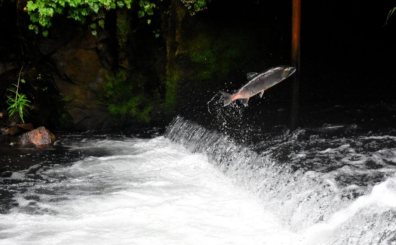 Salmon 'Homecoming'