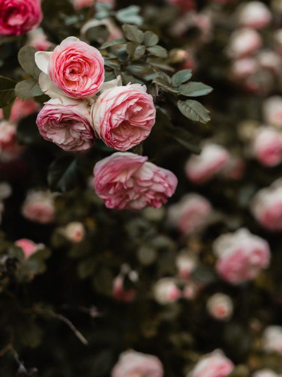 Seratus Tahun Kelopak-Kelopak Mawar