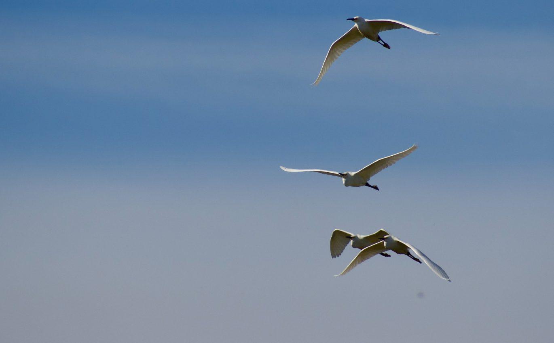 Menguntit Migrasi Sekawanan Burung